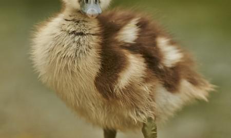 Canard phobie