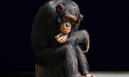 Les rites funéraires des chimpanzés